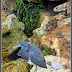 Small Heron - Blue