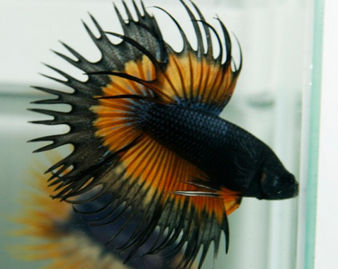 Betta fish Dragon King Black Yellow