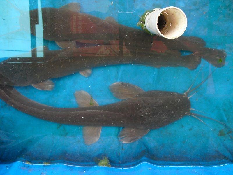 Cara Memelihara Ikan Lele Sangkuriang
