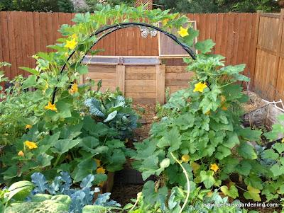 Squash arch in bloom