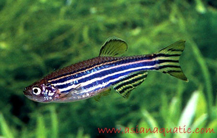 Gambar Ikan Hias Zebra Danio Profil Dan Cara Merawatnya