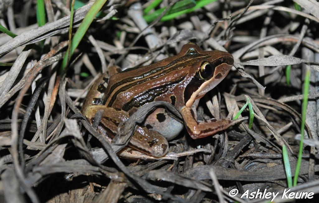 Australian Frogs Photography: KEUNEA PHOTOGRAPHY: Frogs of Coles Creek