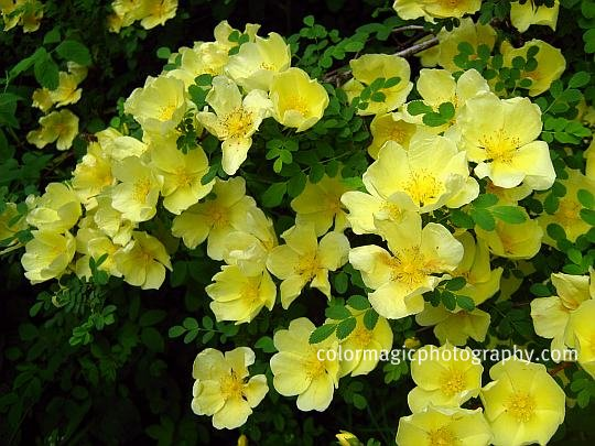 Canary Bird Rose-cluster of yellow flowers
