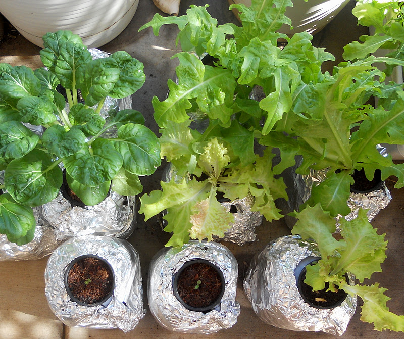Lettuce Container Garden: A Kitchen Garden In Kihei Maui: An Inexpensive Hydroponic