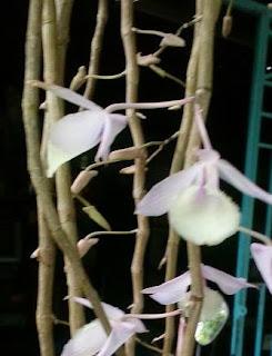 Hoa lan ý thảo chụp cận cảnh