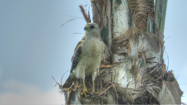 Red Shouldered Hawk Hunting Camouflage