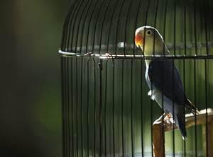 suara lovebird juara