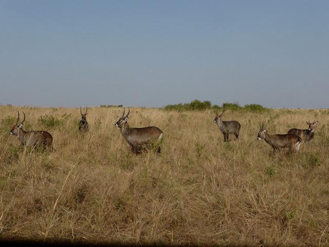 Watterbucks en Masai Mara