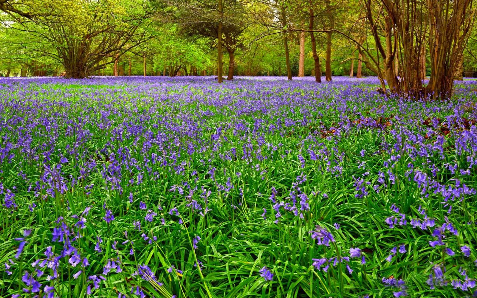 Veld vol paarse bloemen tussen gras