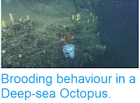 http://sciencythoughts.blogspot.co.uk/2014/08/brooding-behaviour-in-deep-sea-octopus.html