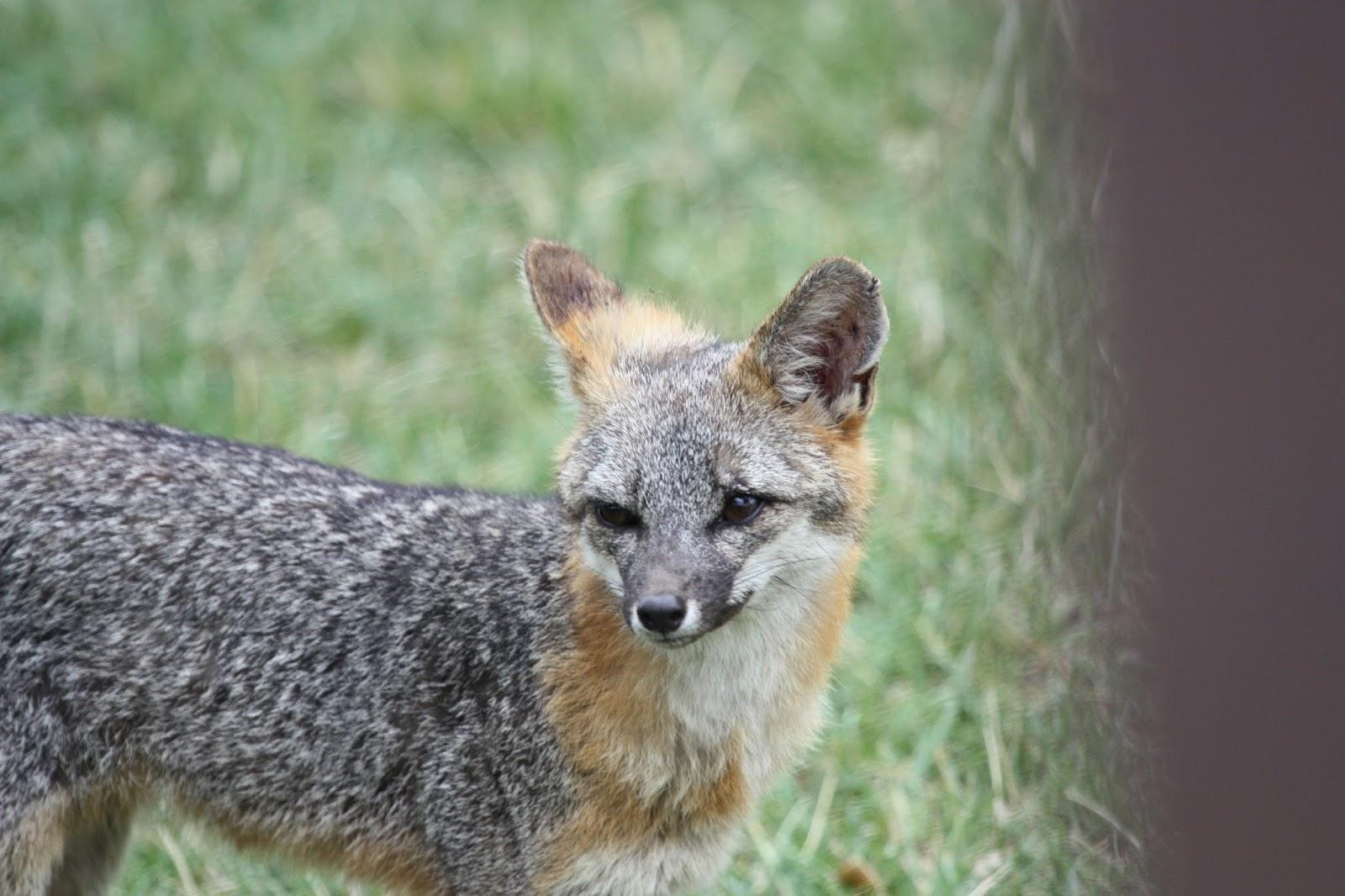 Wildy Fox