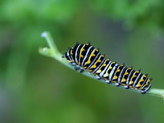 Papillon du cèleri - Papilio polyxenes