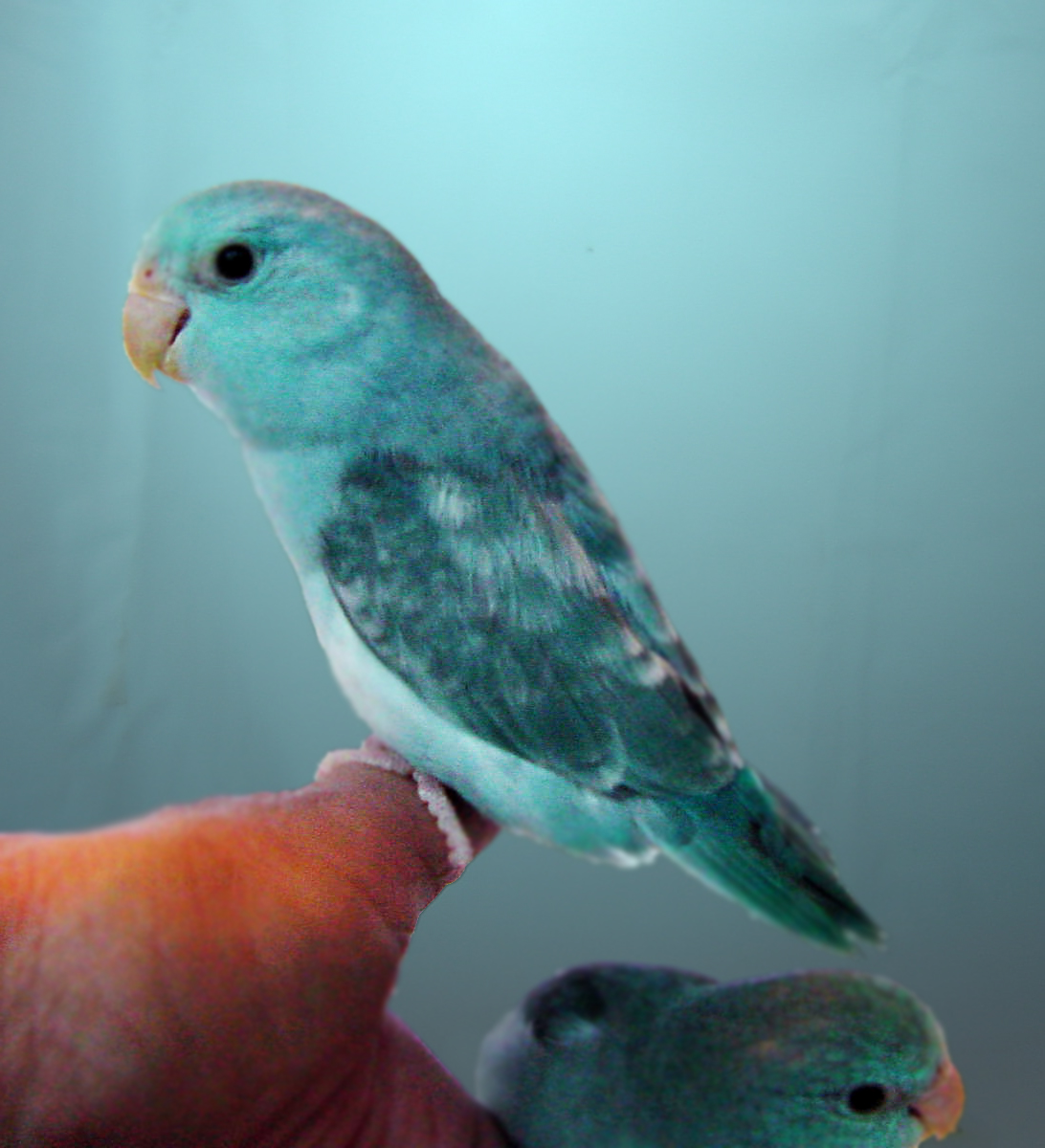 new handfed baby parrotlets