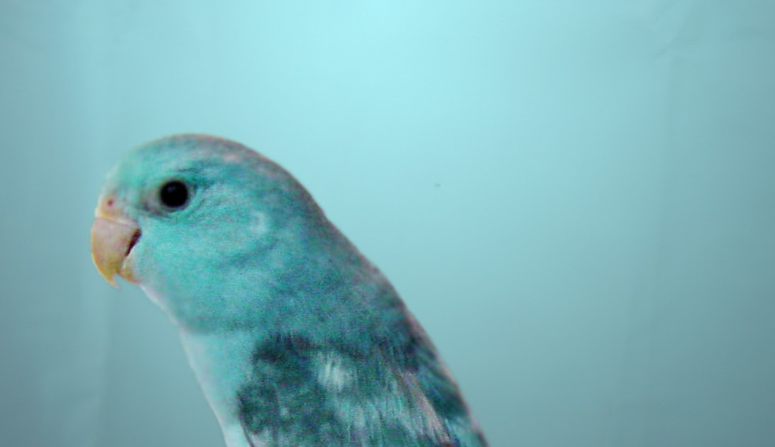 Parrotlet Babies New Handfed Baby Parrotlets Available