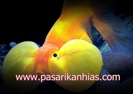 Ikan hias Mas Koki Bubble Eye