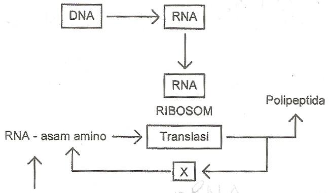 Biologi gonzaga diagram langkah sintesis protein bagian x pada diagram di atas adalah ccuart Image collections