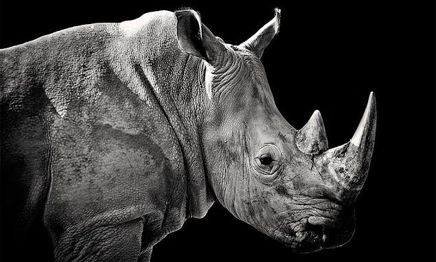 Rhinoceros sondaicus (Badak Jawa)