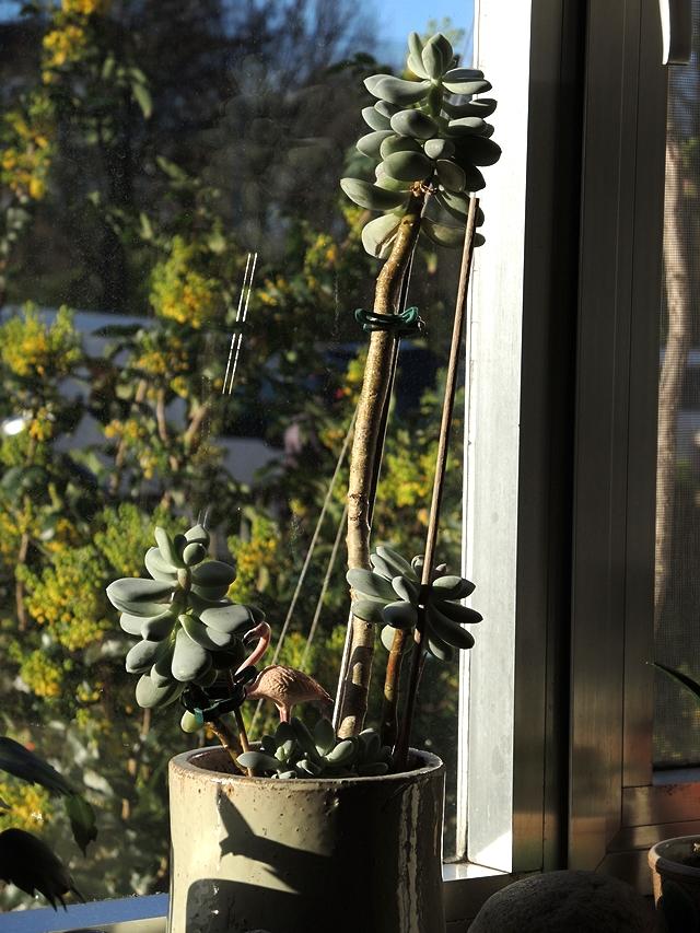 In mijn huiskamerjungle: de Pachyphythum (denk ik toch) ....