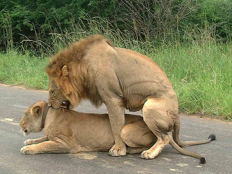 sex with lions