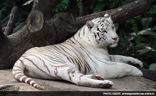 महाराजा मार्तण्ड सिंह जूदेव के नाम से जाना जाएगा व्हाइट टाइगर सफारी