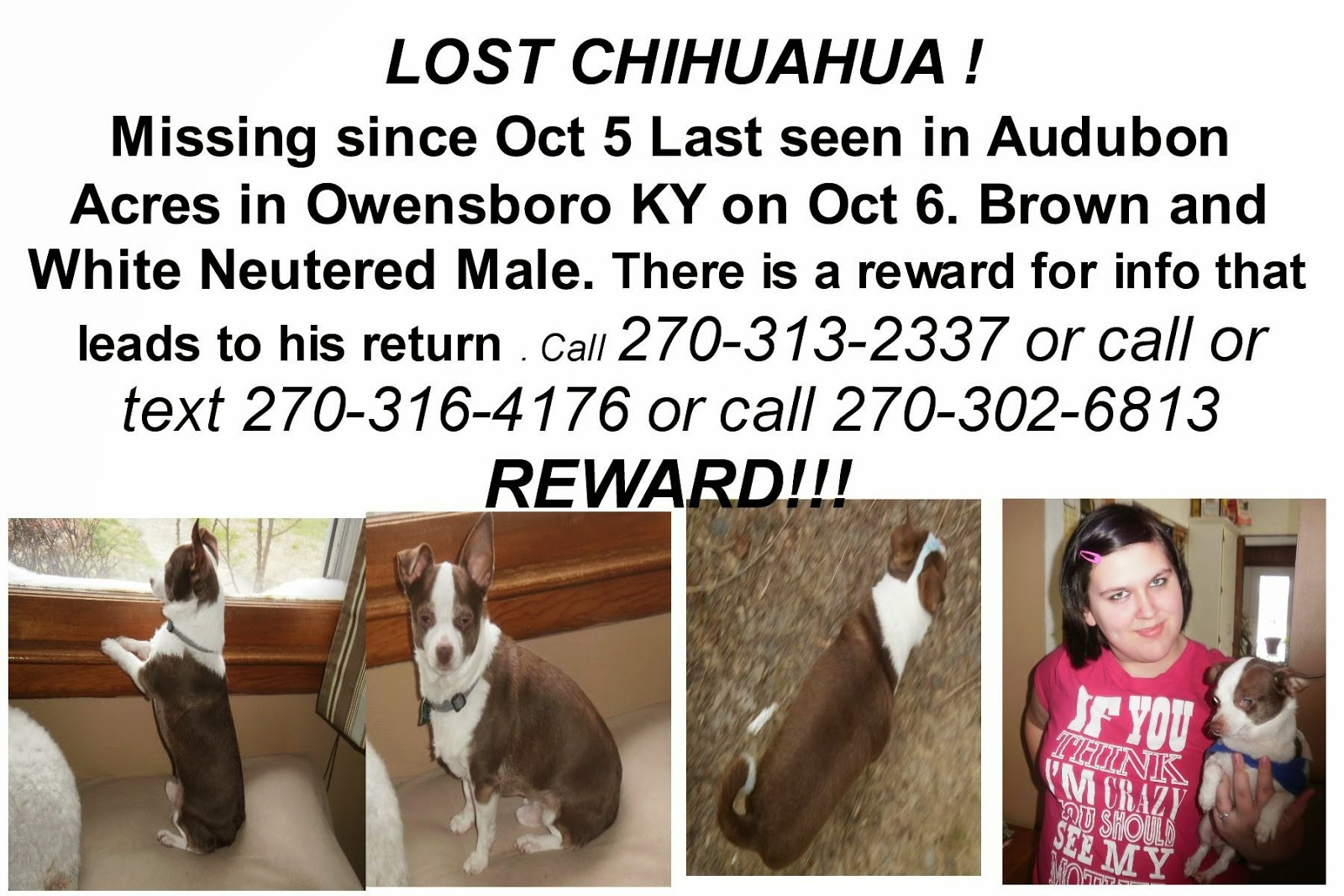 Missing toy chihuahua