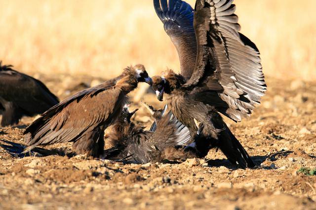 Animal science : eat rotting meat without getting sick, Vultures have knack.