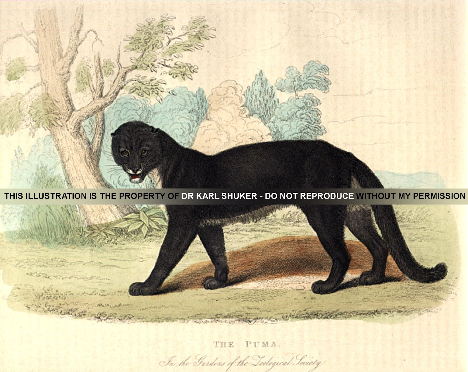 Shukernature The Truth About Black Pumas Separating Fact From Fiction Regarding Melanistic Cougars