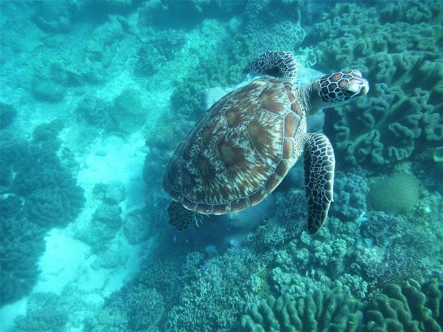 sea turtle snorkeling apo island dumaguete philippines