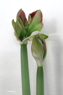 Hippeastrum almost in flower