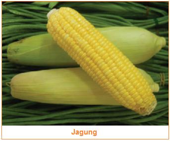 Kandungan dan Manfaat Jagung - Sayuran Jagung - gambar Jagung