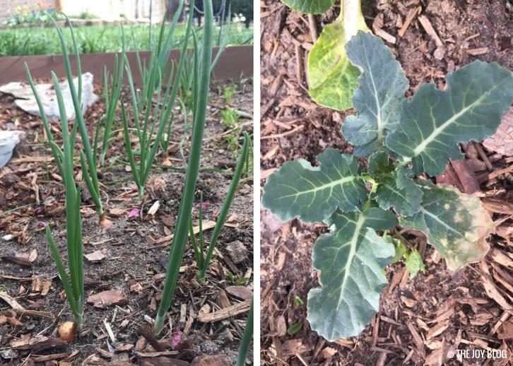 Onions & Broccoli // Garden Updates: Mid-Spring 2018 // www.thejoyblog.net