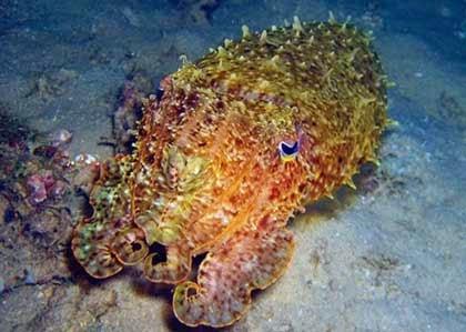 Kamuflase Sotong Laut Dalam/ Cumi-cumi laut dalam