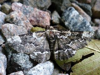 Phaeoura quernaria - Nacophora quernaria