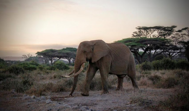 Poaching behind worst African elephant losses in 25 years
