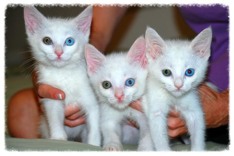 93  Gambar Kucing Warna Biru Kekinian