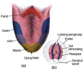 Gambar Anatomi Fisiologi Bagian-Bagian Lidah dan Macam-Macam Papila serta Fungsi Mekanisme Rasa pada Alat Indra Pengecap Manusia