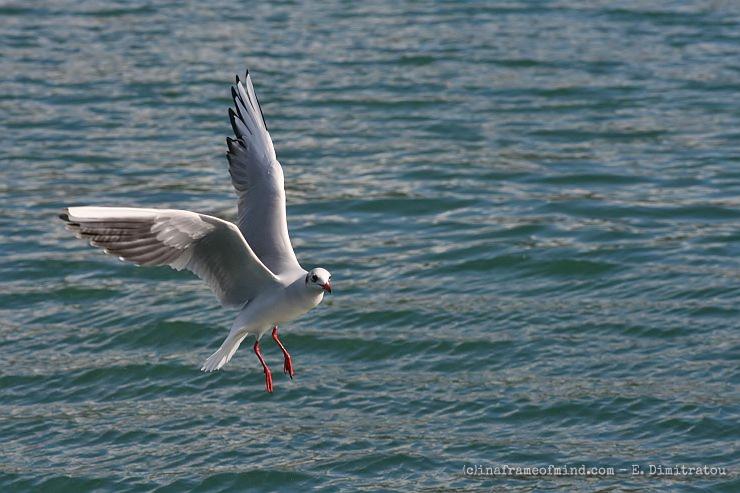 seagull posing?