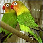 Foto Burung Love Bird Daftar Harga Terbaru