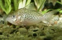Jenis Ikan Corydoras sodalis