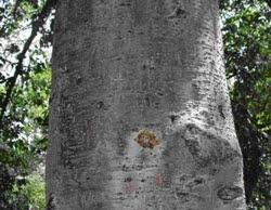 Alnus acuminata tronco