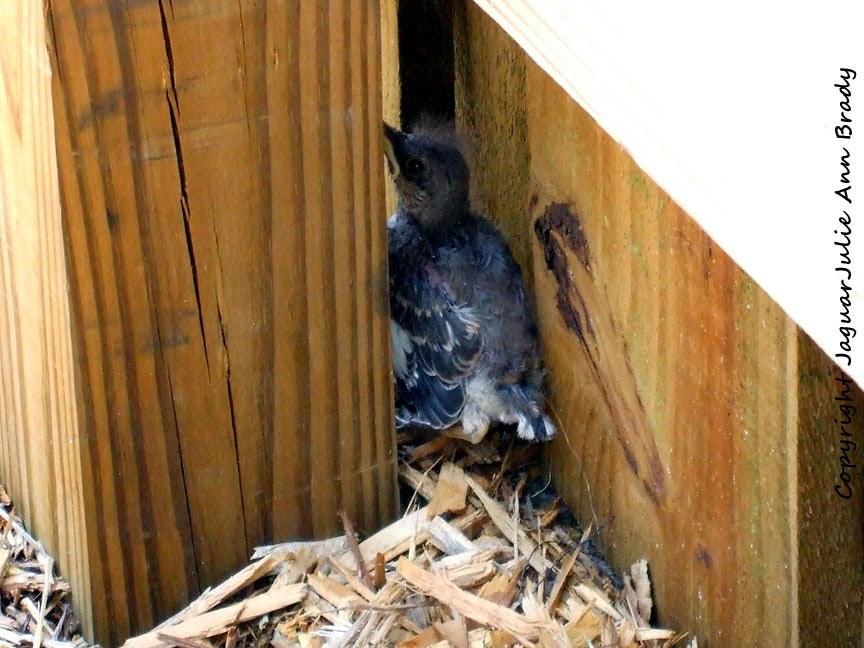 Baby Mockingbird Hiding Behind Fence Post