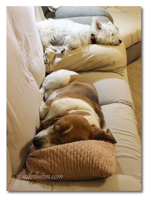 Bentley Basset and Pierre Westie sleeping on the couch