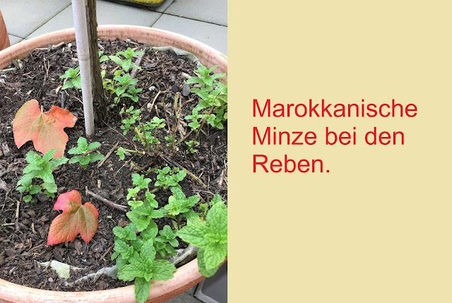 Marokkanische Minze bei Reben