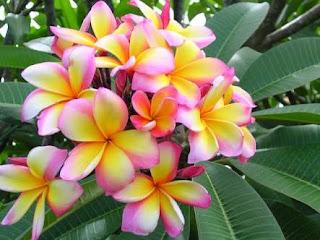 Tukang Taman minimalis menjual pohon Kamboja tree colour atau Kamboja tiga warna dengan harga murah