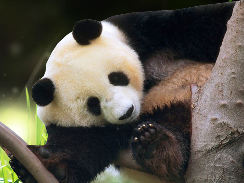 panda backgrounds download - photo #13