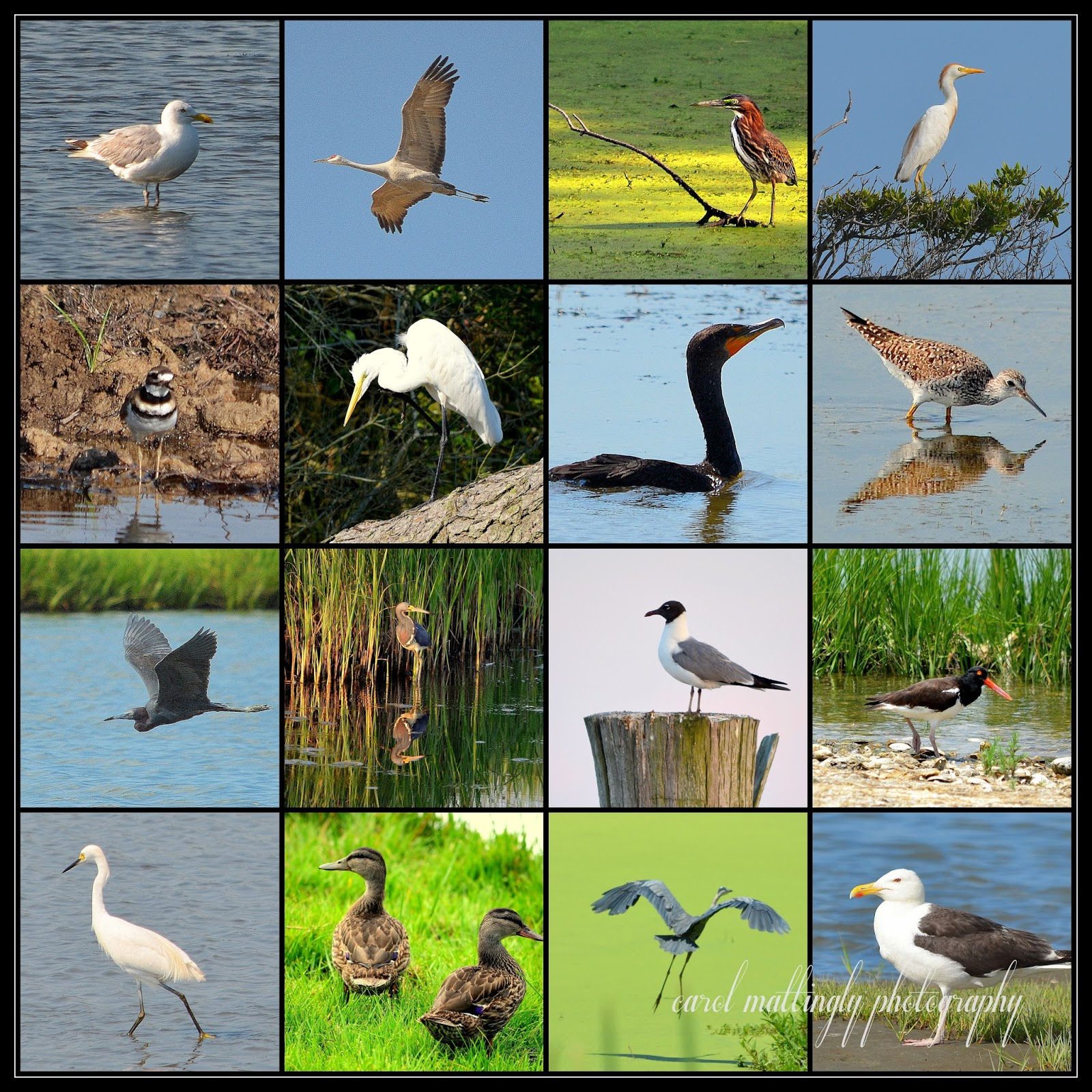 Carol Mattingly Photography 2013 Birds In Review