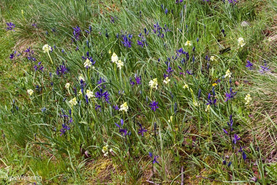 Common Camas (Camassia quamash) with Death Camas (Toxicoscordion venosum)