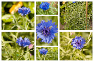Korenbloem Cornflower