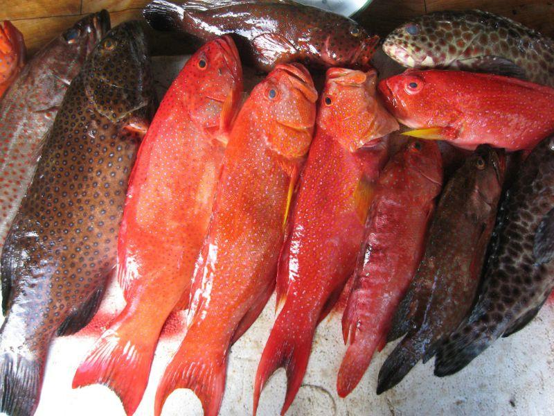 Frozen Grouper Supplier, Grouper Fish Indonesia, Grouper