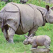 One horned Indian Rhinoceros